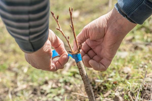 Прививка алычи: повышаем морозостойкость дерева