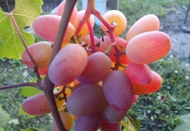 Виноград преображение: описание раннего сорта и правила выращивания и ухода