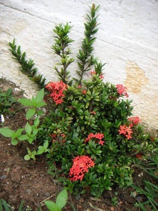 Цветок иксора
