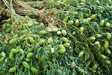 Популярные сорта нута и особенности их выращивания