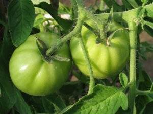 Томат марьина роща: урожайный сорт для теплиц