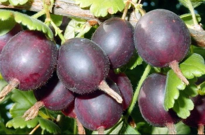 Крыжовник: посадка и уход в открытом грунте, болезни и вредители, подготовка к зиме, секреты выращивания