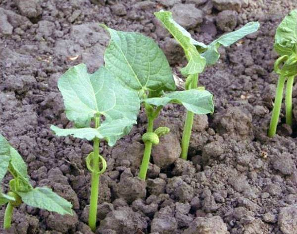 Правила посадки фасоли разных видов на дачных грядках