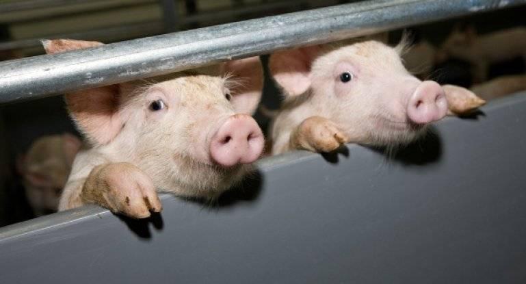 Секреты разведения свиней как бизнес от а до я