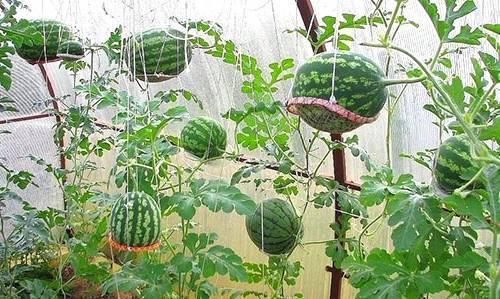 Как выращивать арбузы в открытом грунте?