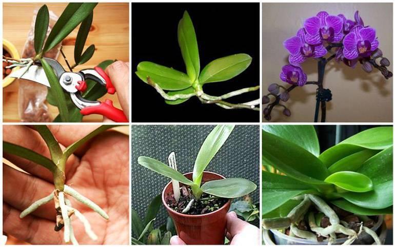 Как отсадить детку орхидеи – правильная обрезка и пересадка растения с цветоноса с корнями или без в домашних условиях