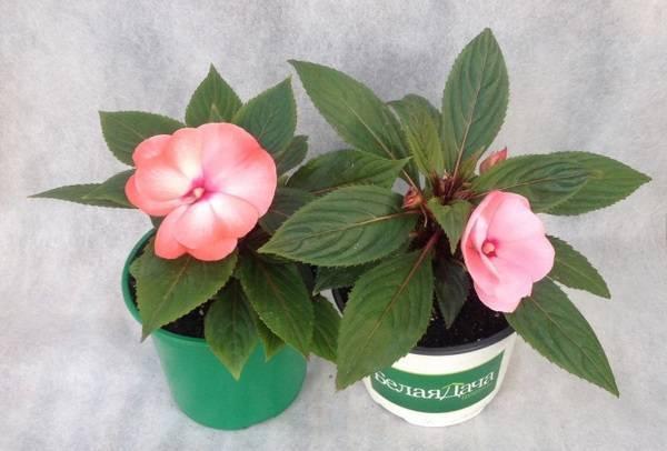 Что такое ампельные растения и ампельные цветы-однолетники
