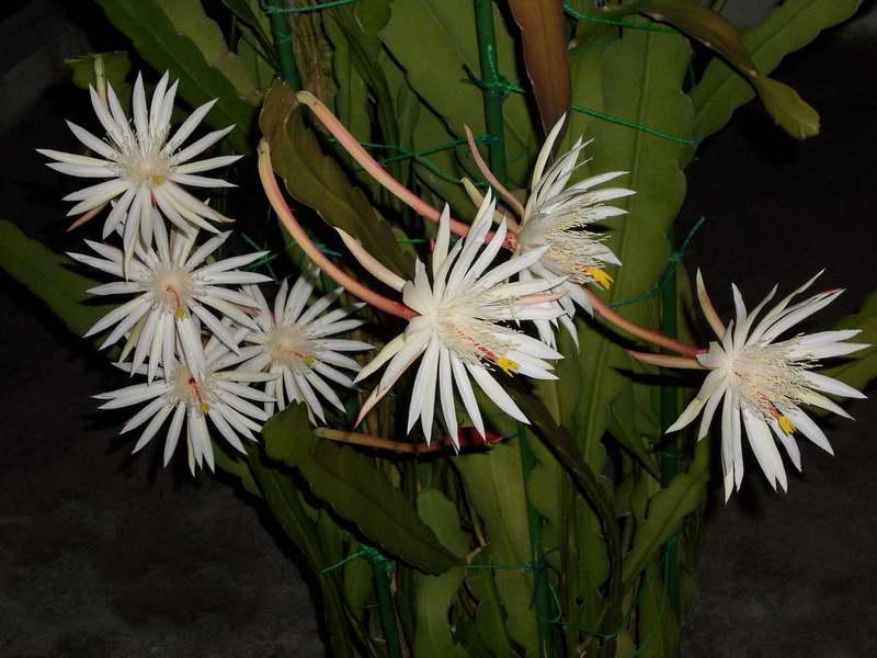 Почему не цветет спатифиллум в домашних условиях? как заставить спатифиллум цвести