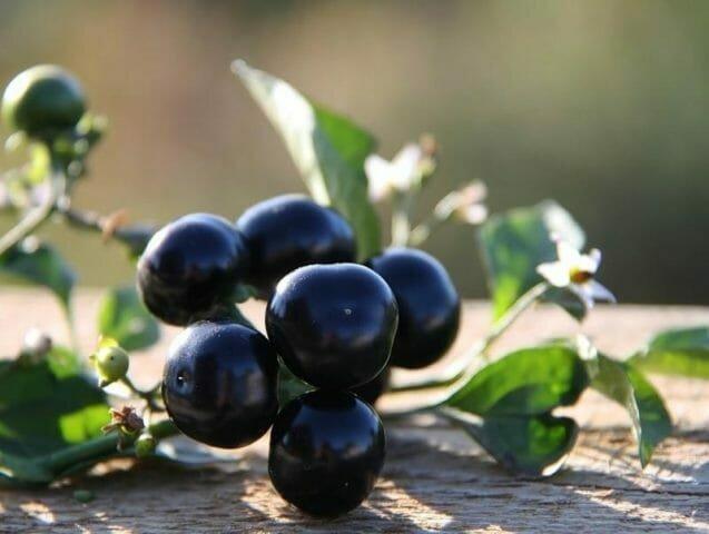 Санберри — занятная ягода с волшебными свойствами