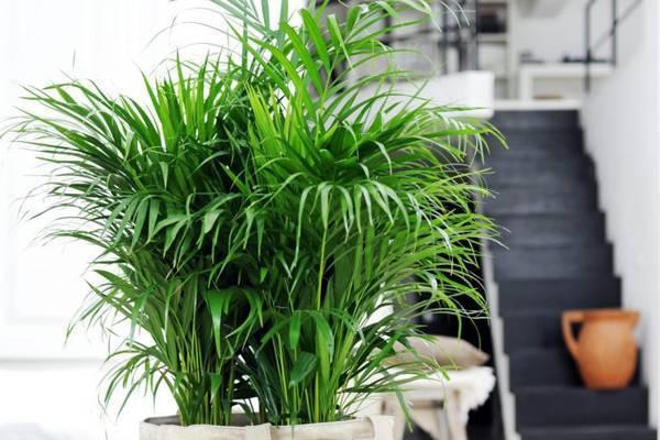 Пальма хамедорея — уход в домашних условиях