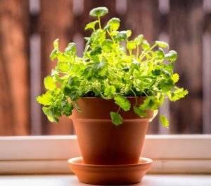 Как выбрать время для посева семян кинзы? когда сажать культуру в открытый грунт и теплицу?