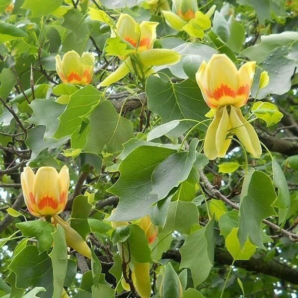 Спатодея: африканское тюльпанное дерево. особенности выращивания тюльпанового дерева из семян спатодея африканское тюльпанное дерево