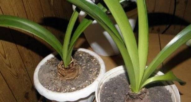 Гиппеаструм отцвел: как ухаживать за растением после цветения? советы по уходу