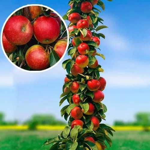 Рассказываем, почему не плодоносит колоновидная яблоня и что делать?