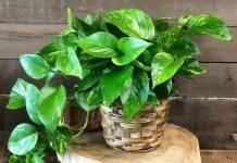 Полезные комнатные растения — хлорофитум, мирт, лавр, аспарагус, видео