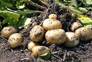 Пятна на картофеле (листьях и клубнях) – возможные причины