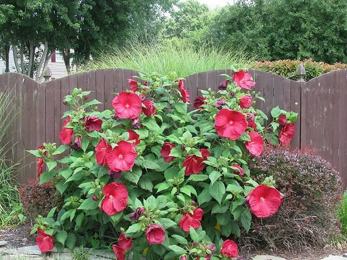 Садовый гибискус– правила посадки и выращивания в открытом грунте