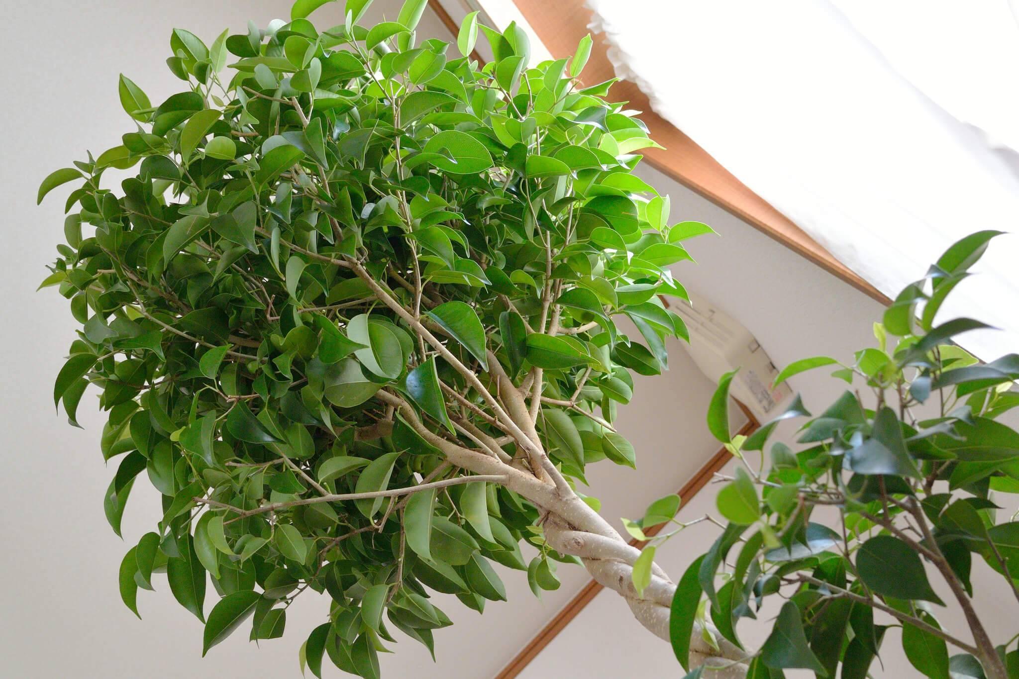 Выращивание бонсая из фикуса в домашних условиях