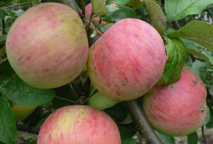 Осеннее полосатое или штрифель – популярный сорт яблок