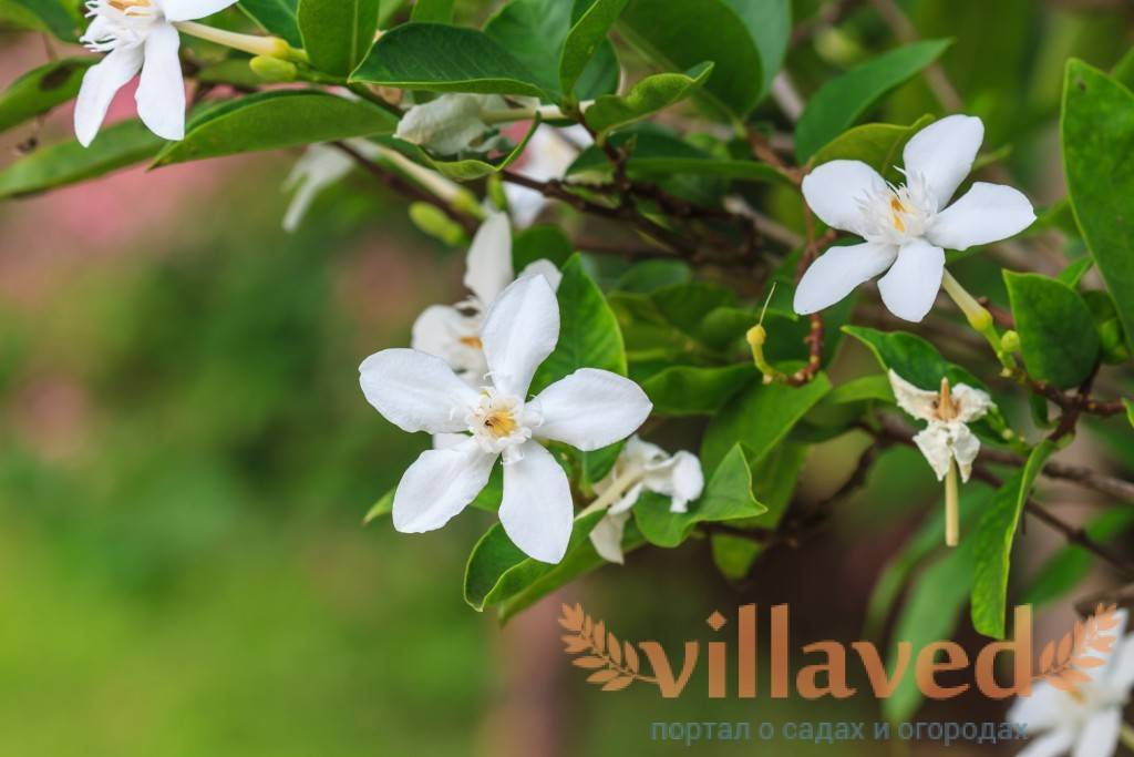 Цветок гардения жасминовидная: уход в домашних условиях и фото