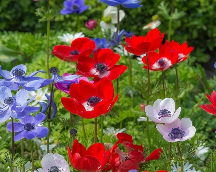 Цветы анемоны: посадка и уход в открытом грунте