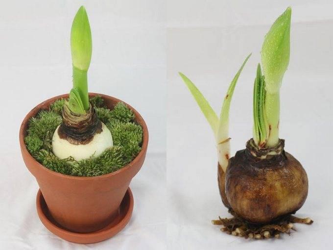 Гиппеаструм — уход в домашних условиях до и после цветения