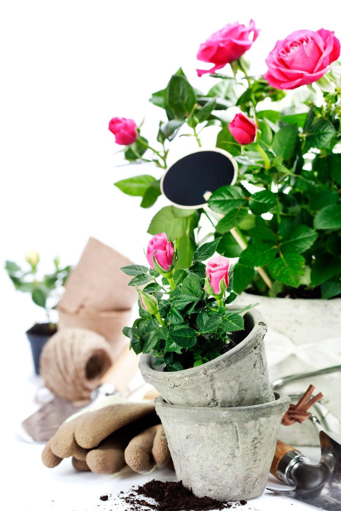 Выращиваем розы в картошке - лучше приживаемость, обильнее цветение