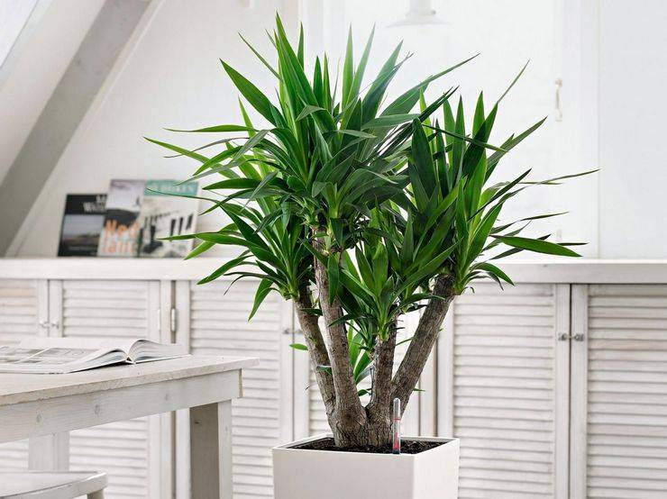 Юкка: уход в домашних условиях, размножение и пересадка пальмы