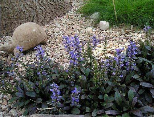 Живучка ползучая: выращивание, уход, ландшафтный дизайн