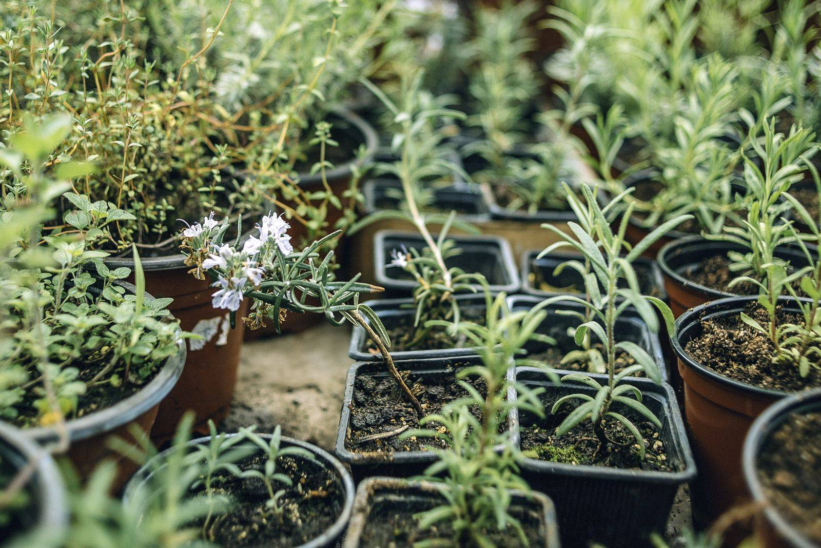 Выращивание розмарина в саду - правила посадки и ухода, видео