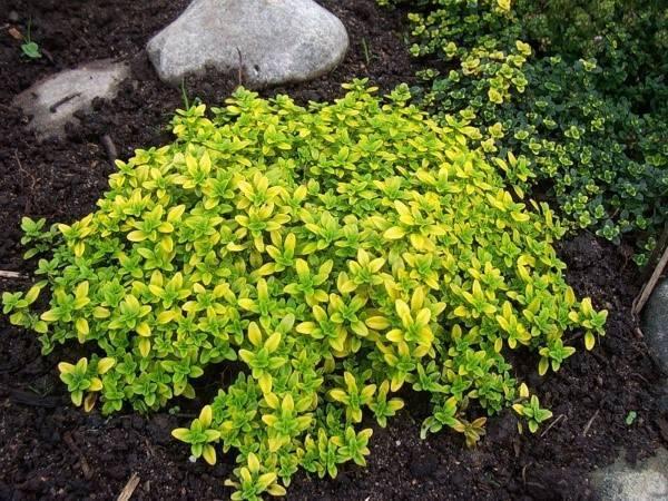 Как вырастить наперстянку из семян?