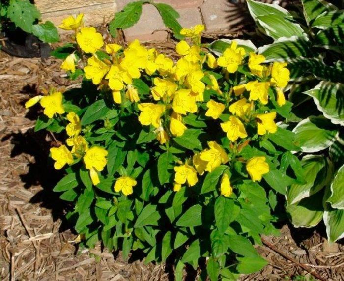 Энотера (ослинник): посадка и уход, выращивание в саду