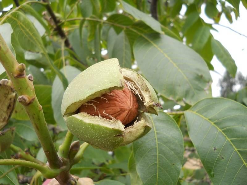 Применение чая из листьев грецкого ореха