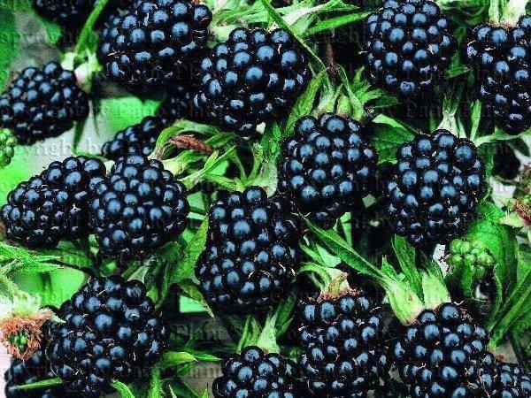 Выращивание малины как бизнес: рентабельность, бизнес-план