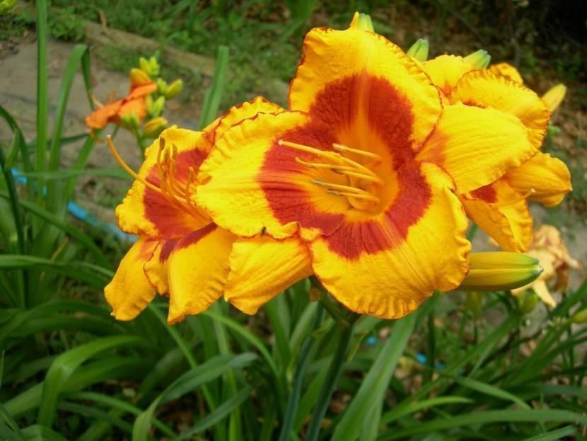 Обзор видов и сортов лилейника