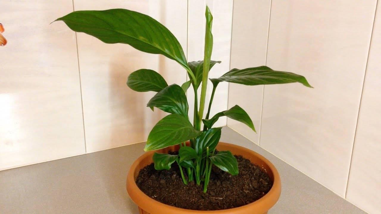 Почему желтеют листья, цветки и стебель спатифиллума и как спасти растение?