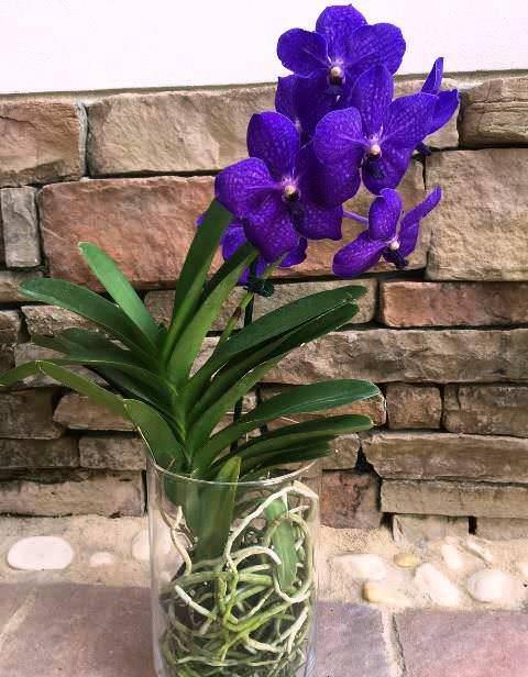 Орхидея ванда – любительница солнца и тропических ливней