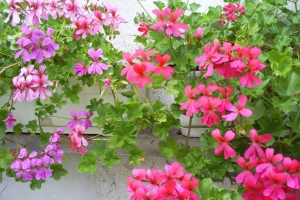 Как вырастить пеларгонию из семян в домашних условиях