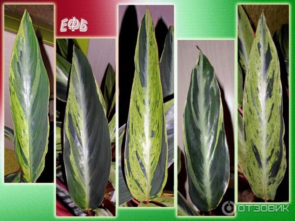 Причины высыхания кончиков листьев у комнатных растений