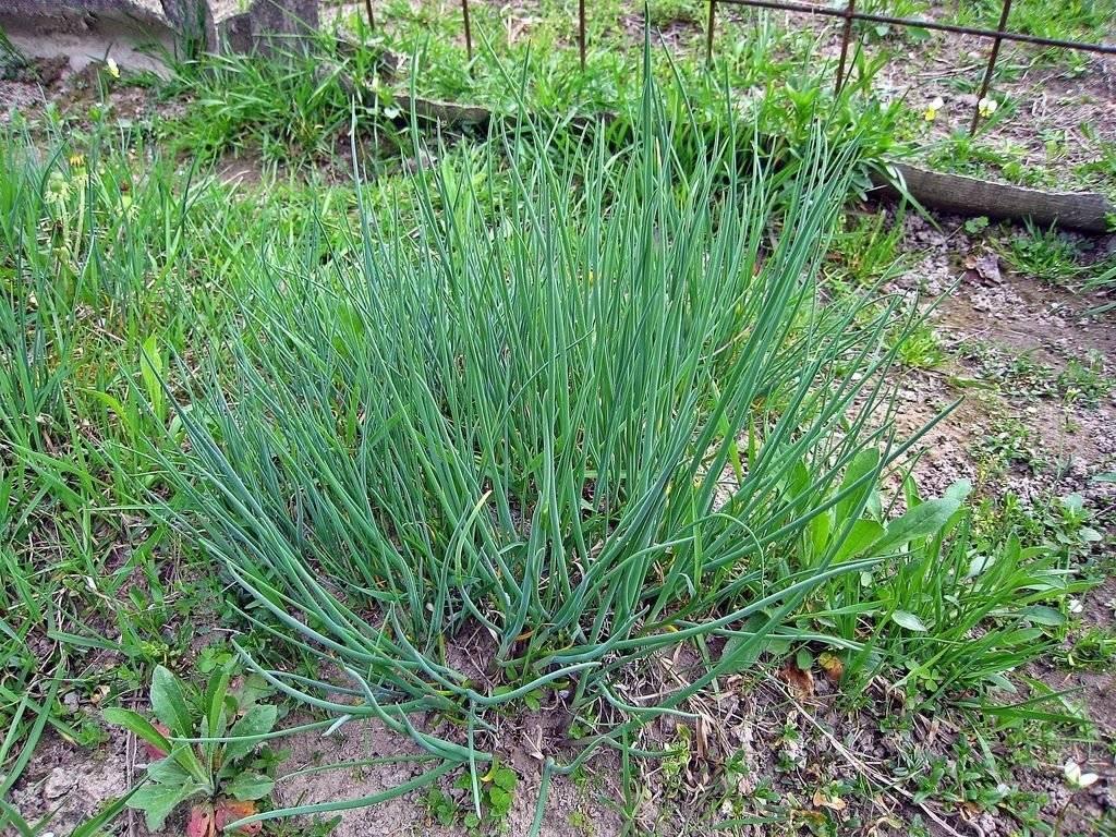 Выращивание шнитт-лука из семян