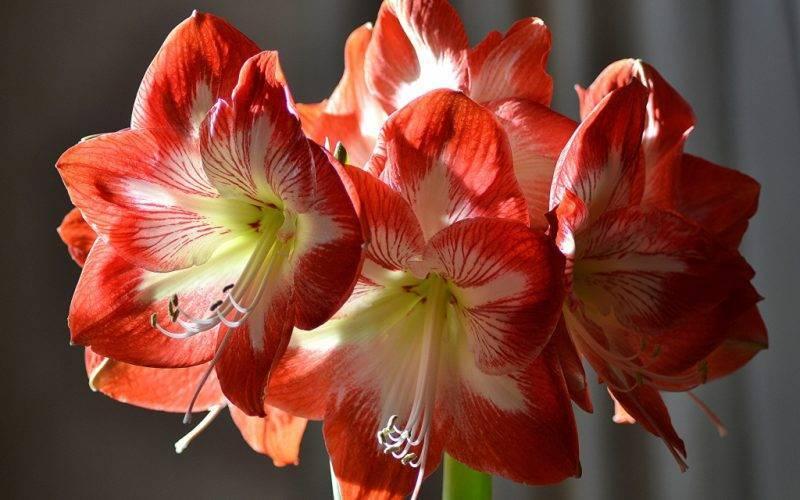Нюансы посадки амариллиса и уход за цветком. яркие фото красивого растения
