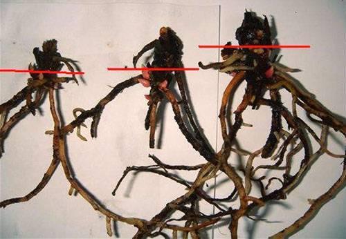 Почему гибнет антуриум и как его спасти. реанимируем гибнущее растение антуриум. реанимируем антуриум после ошибок в уходе