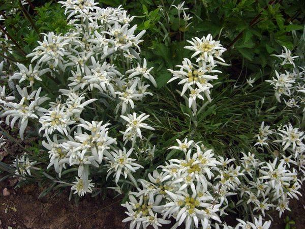 Эдельвейс горный цветок