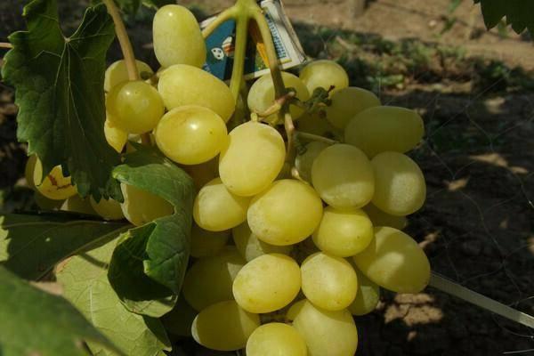Самые лучшие и продаваемые сорта винограда 2017 года