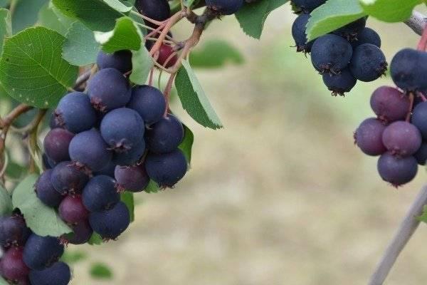 Ягодные кустарники: посадка, выращивание, уход