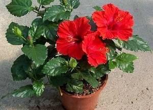 Почему гибискус не цветет, что делать, чтобы зацвел? уход, болезни и вредители растения
