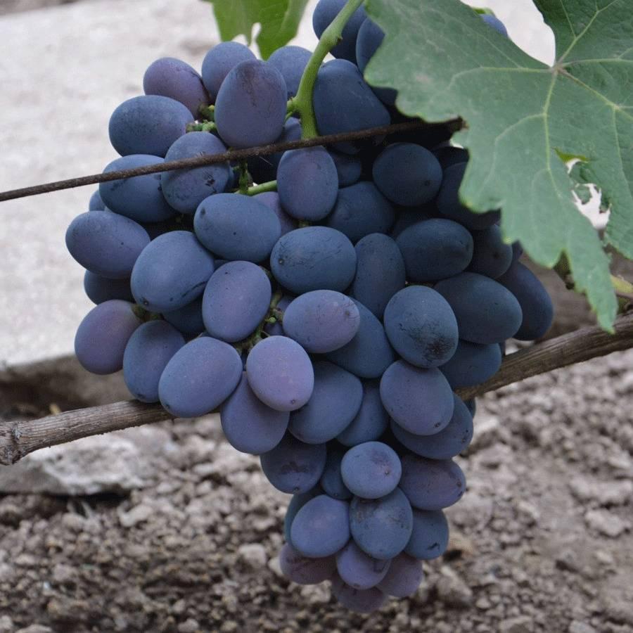 Распространенный гибрид с высоким качествами — виноград фуршетный