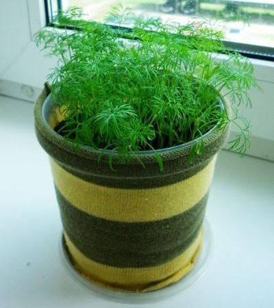 Обязательно ли замачивать семена укропа для подготовки к посеву в открытый грунт и как это сделать?
