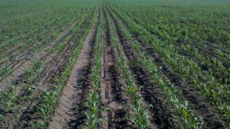 Посадка кукурузы на даче: особенности выращивания в открытом грунте