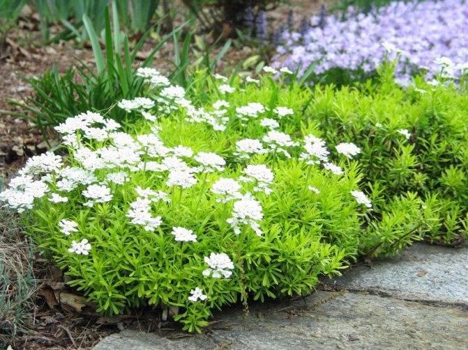 Иберис зонтичный: два способа выращивания из семян